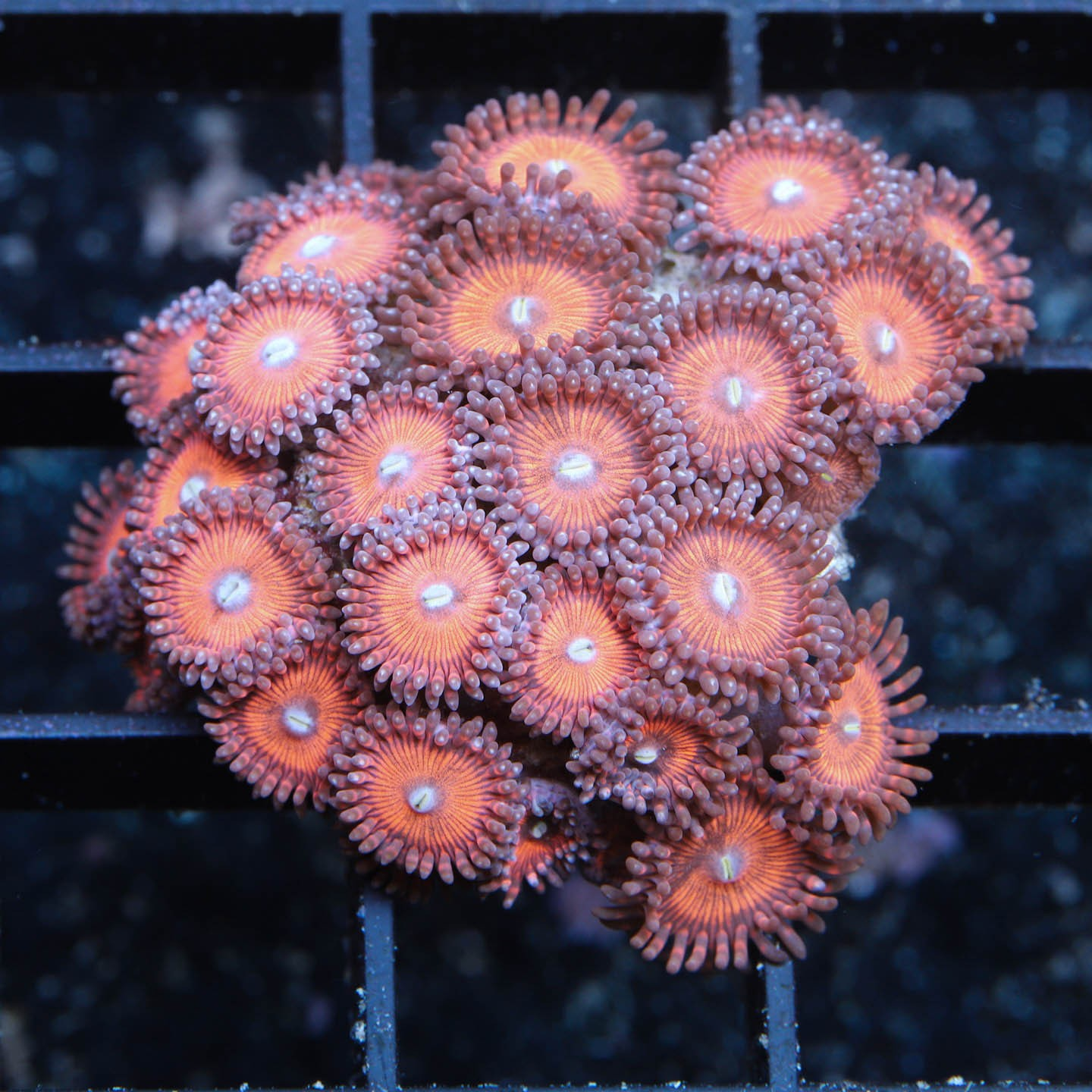 "AR Zoanthus ""Pink red"""